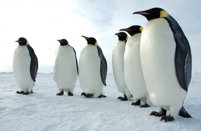 Six_Emperor_Penguins_0